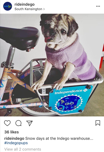 Indego dog Instagram